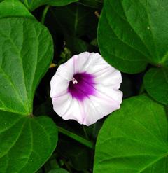 [지상 식물원] 나팔꽃을 닮았네 '고구마 꽃'