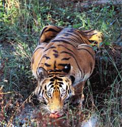 물을 먹고 있는 벵골호랑이(78쪽).