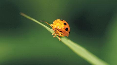 [곤충 백과사전] 열점박이별잎벌레