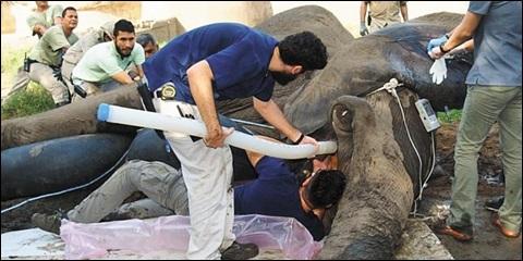 지난 11일(현지 시각) 이뤄진 탄토르의 치과 수술에는 수의사와 사육사 등 전문가 30여 명이 투입됐다.