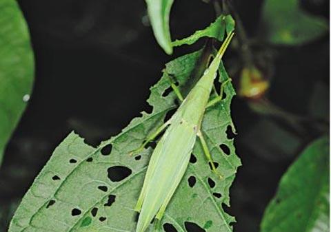 쇠무릎 잎을 먹는 섬서구메뚜기.