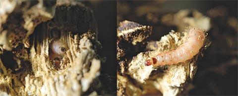 도장버섯에서 살고 있는 참개미붙이 애벌레.