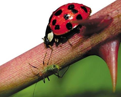 먹잇감 노리고 있는 무당벌레.