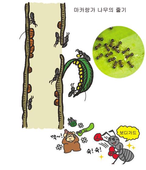 [식물의 비밀] 마카랑가 나무