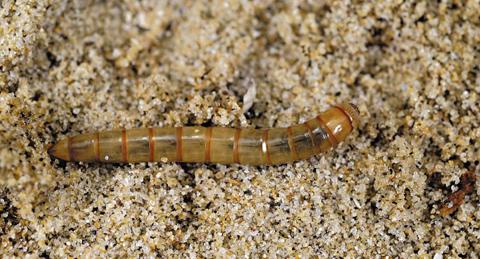 몸통이 철사처럼 길고 매끈한 모래거저리 애벌레.