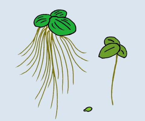 [식물의 비밀] 분개구리밥