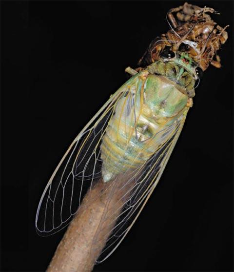 애벌레에서 어른벌레가 되기 위한 날개돋이를 하는 참매미.