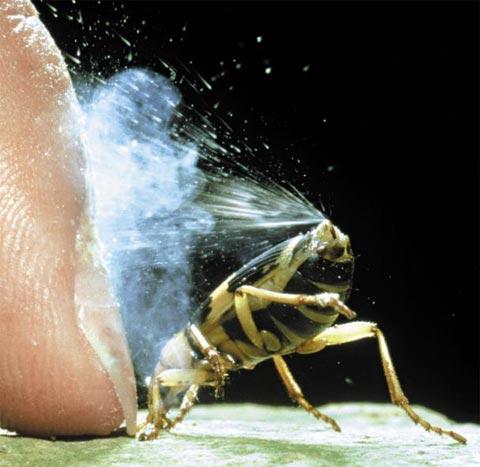 폭탄 가스를 내뿜는 폭탄먼지벌레류.