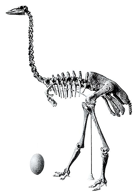 코끼리새는 약 1100년 전 멸종했다. 이제 남은 것이라고는 코끼리새의 거대한 알과 골격뿐이다.