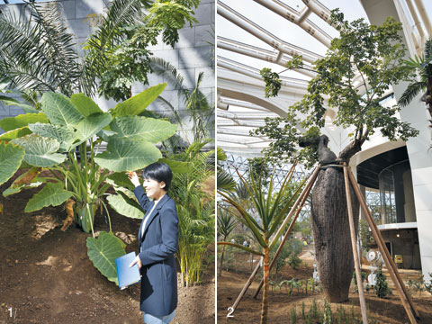1 잎사귀가 넓적하고 둥근 코끼리 귀 모양을 닮은 '콜로카시아'. 2 물병처럼 생긴 '물병나무'.