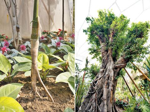 3 '워킹팜'은 원하는 장소로 새롭게 뿌리를 뻗어 이동한다. 4 둘레 120㎝, 높이 약 7m에 달하는 벵갈고무나무. 이는 국내 최대 크기의 벵갈고무나무다.