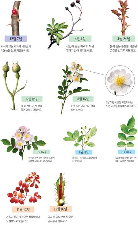 [아는 만큼 보이는 나무] 찔레꽃