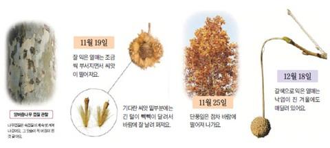 양버즘나무