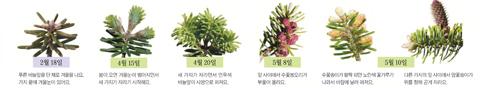 [아는 만큼 보이는 나무] 구상나무