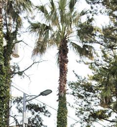 따뜻한 제주에 많은 야자나무