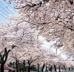봄이면 예쁜 꽃 피우는 벚나무