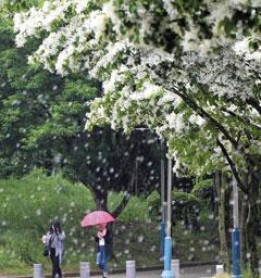 길고 하얀 꽃 흐드러진 이팝나무