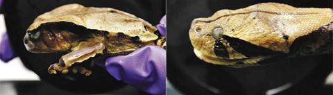 [생김새만 감쪽같은 게 아냐. '쉭쉭' 소리도 비슷하게 내지.] 콩고큰두꺼비는 가분살무사의 머리와 닮았다./테일러 앤 프랜시스 온라인 홈페이지 캡처