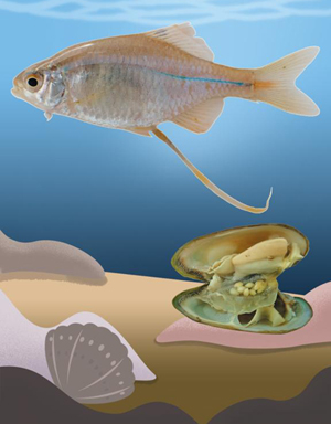 [빨대 같은 긴 관 통해 수정란이 조개 속으로 '쏙'] 각시붕어 암컷은기다란 산란관을 이용해 조개 1개당 약 9개의 알을 낳는다./최희규 상지대 생명과학과 연구원 제공