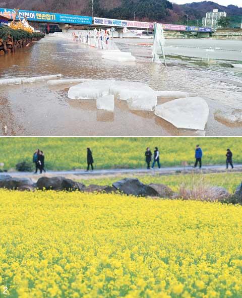 1 지난 8일 때아닌 겨울비로 강원 화천군 산천어 축제장 얼음이 녹은 모습. 올겨울 포근한 날씨가 이어지며 눈 대신 비가 많이 내렸다. 2 지난 7일 제주 서귀포시 산방산 인근에 봄꽃인 유채꽃이 만발했다. 이날 제주도 낮 최고기온은 23.6도까지 올랐다.